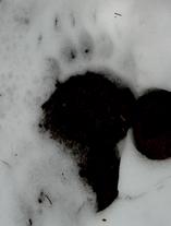 ヒグマ足跡