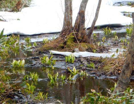 五湖のミズバショウ
