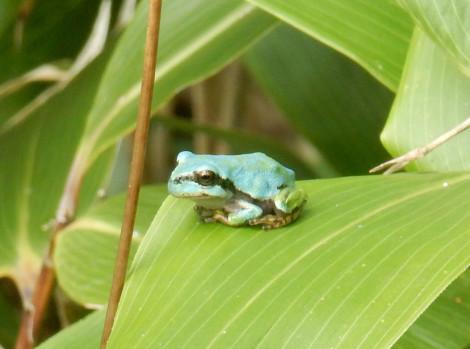 青いアマガエル1
